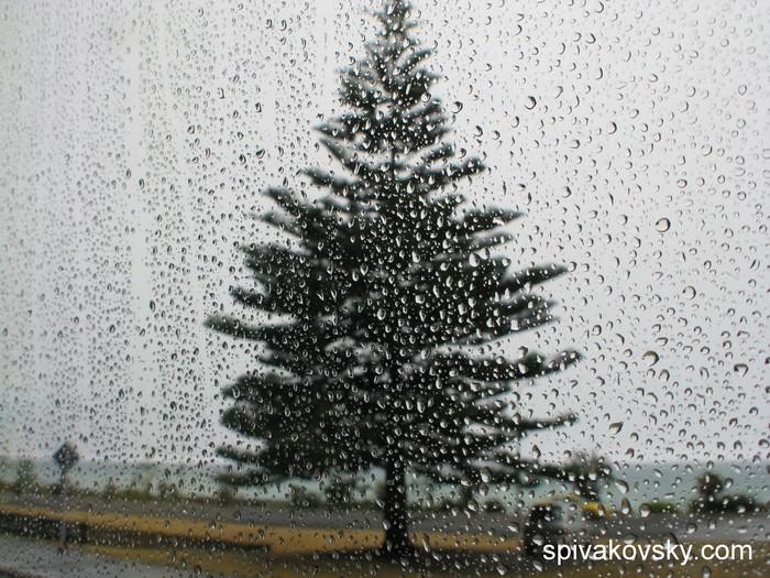 Fir-tree. Australia