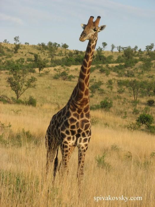 Жираф, сафари. Кения