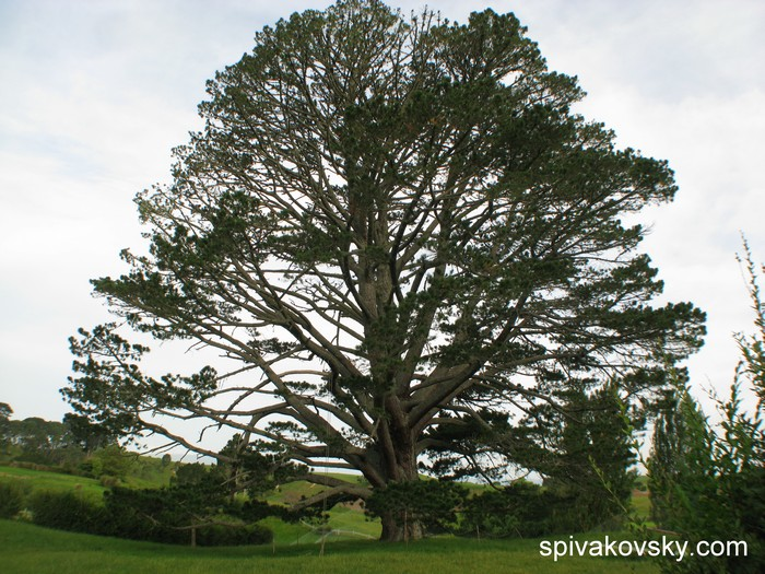 Новая Зеландия. Дерево