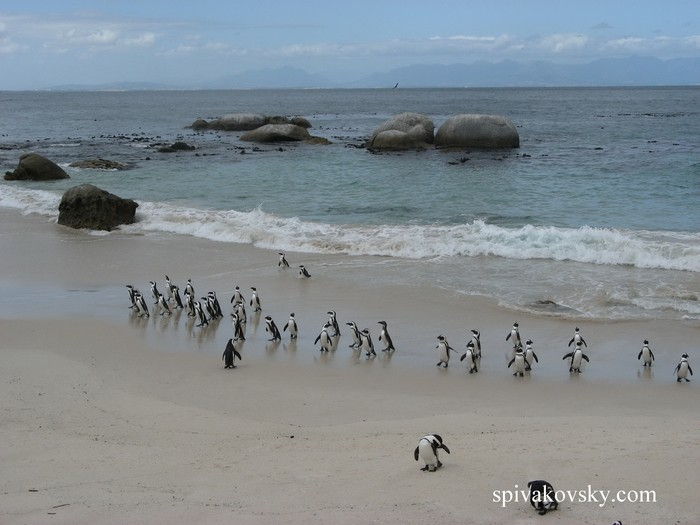 Parade of penguins. New Zealand