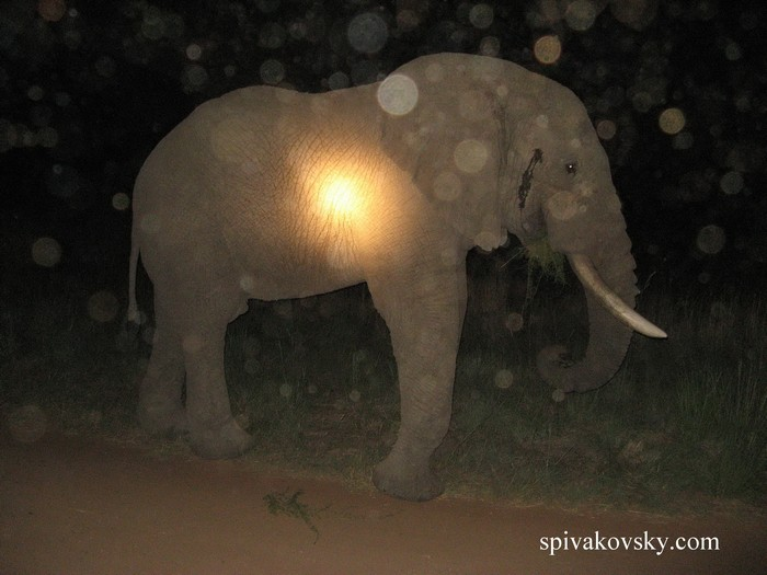 Elephant on the road at night. South Africa